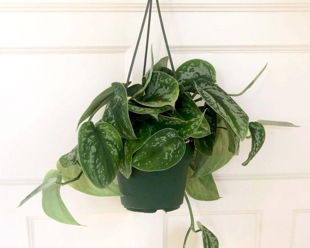 Silvery-Ann-Scindapsus-Pictus-Argyraeus-The-Satin-Pothos-Peppyflora-Product-02-a