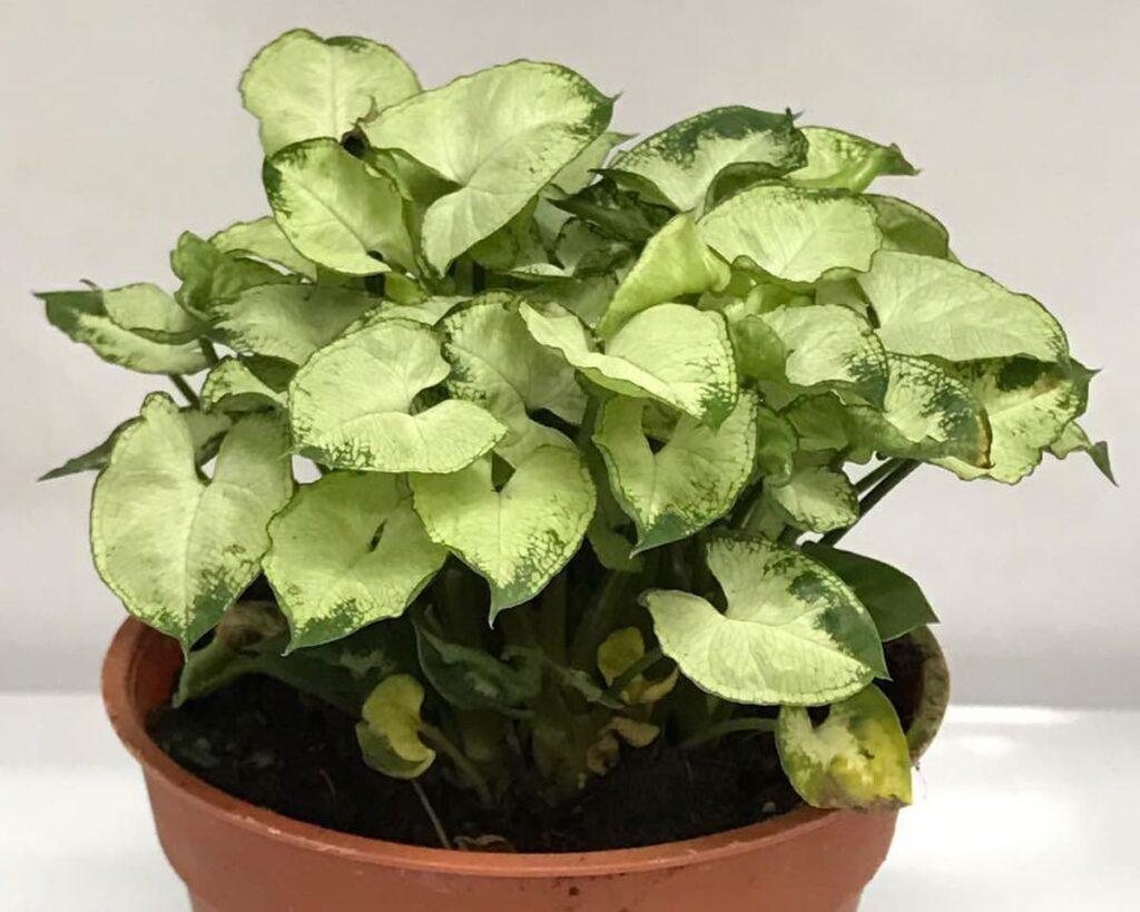 Syngonium-Podophyllum-Mini-Pixie-White-Peppyflora-02-moz