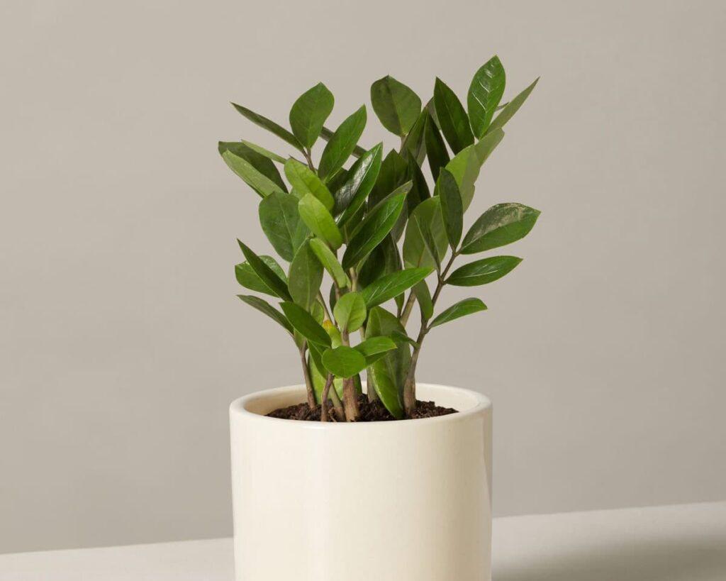 Zamioculcas-Zamiifolia-ZZ-Plant-Peppyflora-02-moz