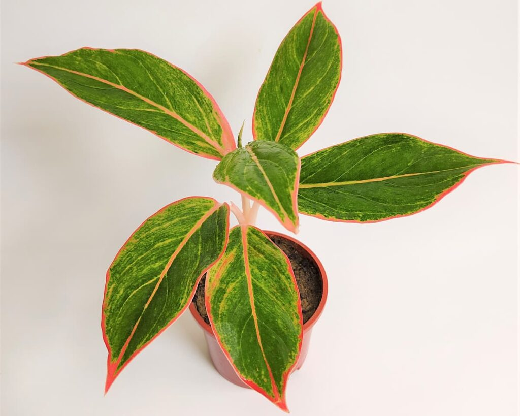 Aglaonema-Lipstick-Aglaonema-Siam-Aurora-Peppyflora-Product-02-moz