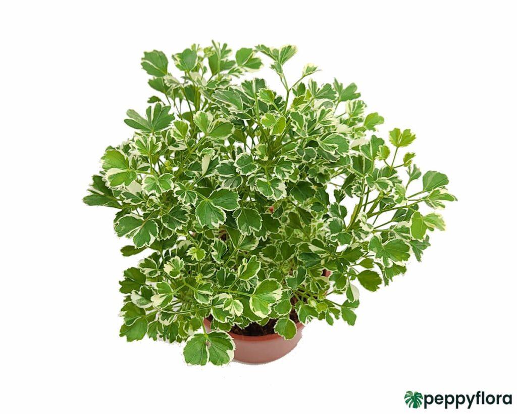 Aralia-Miniature-White-Product-Peppyflora-02-Moz