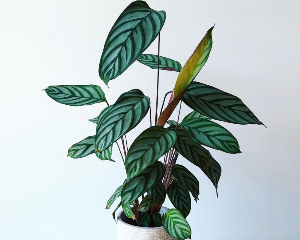 Calathea-Compact-Star-Setosa-Peppyflora-Product-02-moz