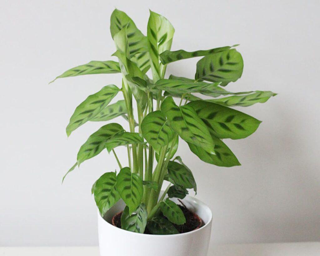 Calathea-Leopardina-Peppyflora-Product-02-moz