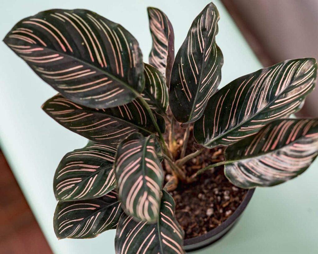 Calathea-Ornata-Pinstripe-Calathea-Peppyflora-Product-02-moz
