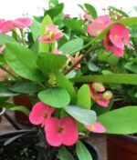 Euphorbia-Milii-Pink-Crown-of-Thorns-Plant-Peppyflora-Product-01-b-moz
