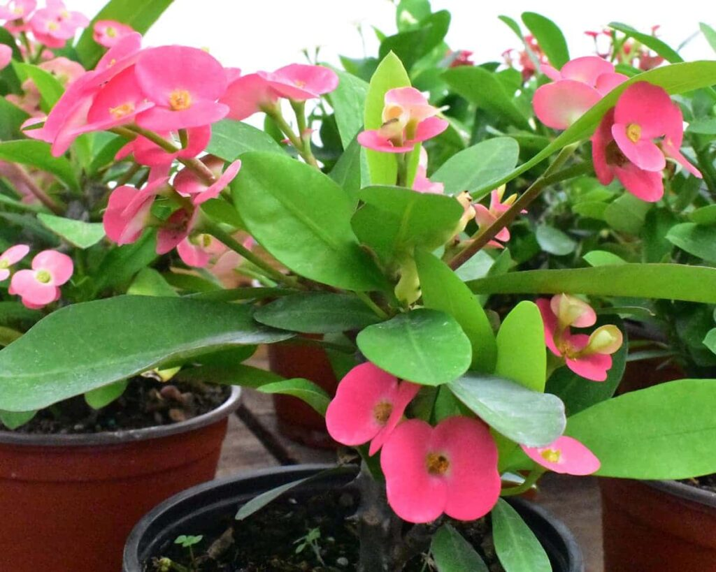 Euphorbia-Milii-Pink-Crown-of-Thorns-Plant-Peppyflora-Product-02-moz