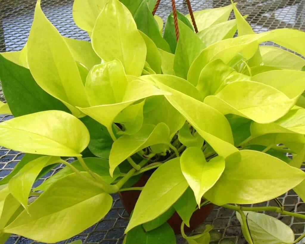 Golden-Pothos-Golden-Money-Plant-Lime-Pothos-Peppyflora-Product-02-moz