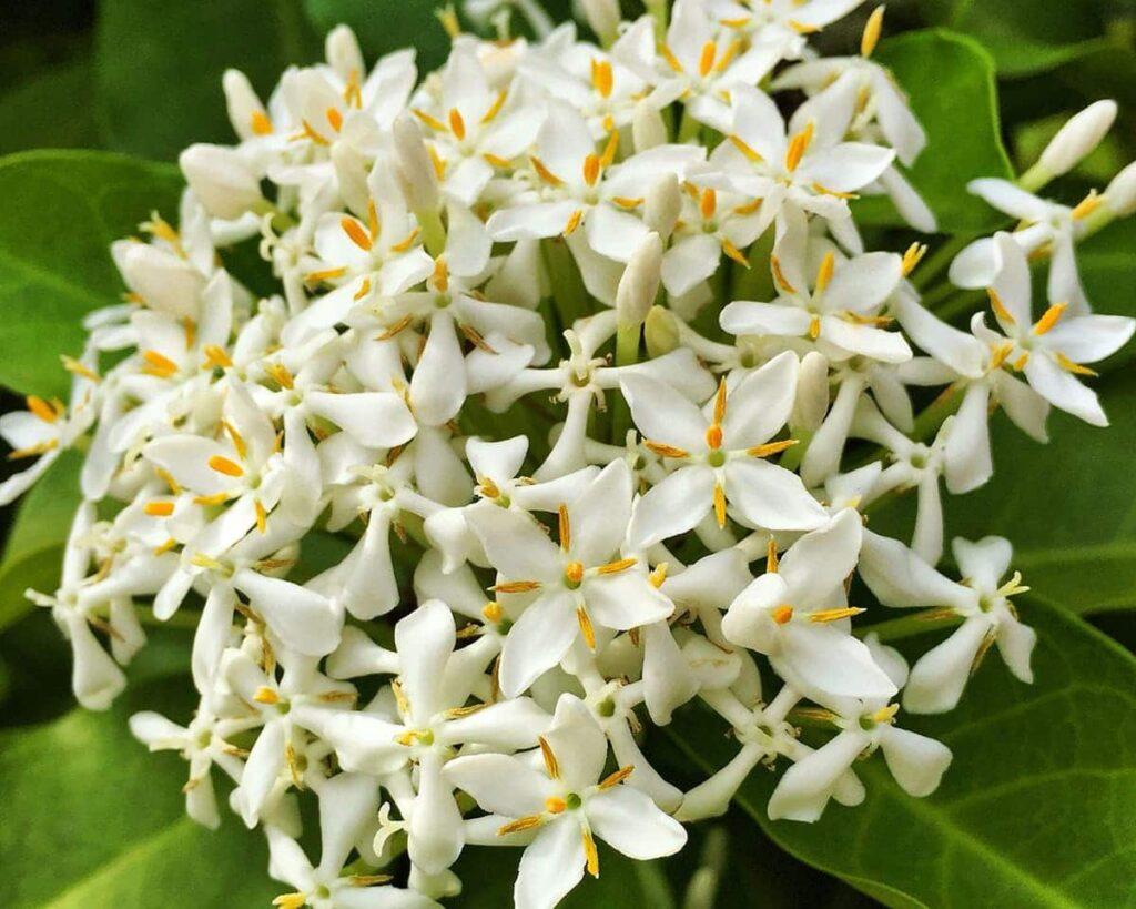 Ixora-Dwarf-White-White-Rangan-Peppyflora-Product-02-moz