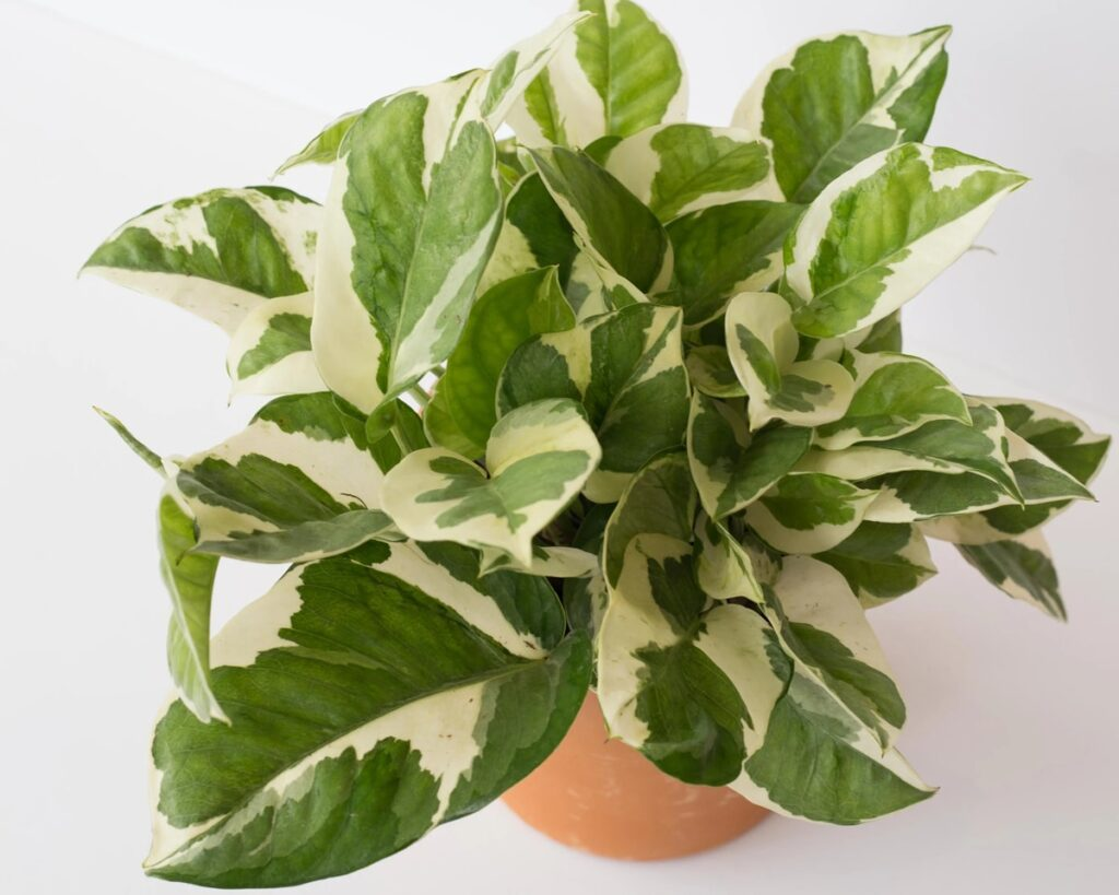 Money-Plant-N'joy-Scindapsus-N-Joy-Peppyflora-Product-02