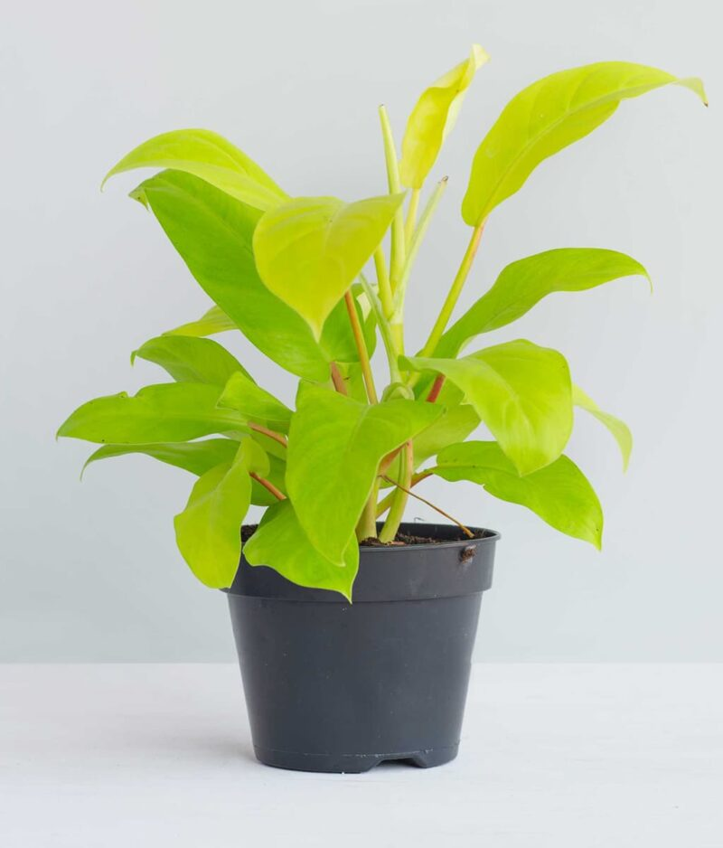 Philodendron-Malay-Gold-Ceylon-Golden-Peppyflora-Product-01-a-moz