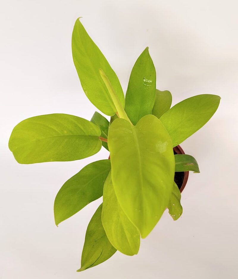 Philodendron-Malay-Gold-Ceylon-Golden-Peppyflora-Product-01-b-moz