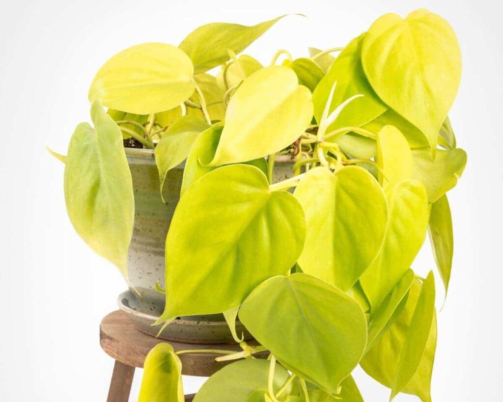 Philodendron-Neon-Velvet-Lemon-Lime-Peppyflora-Product-02-moz