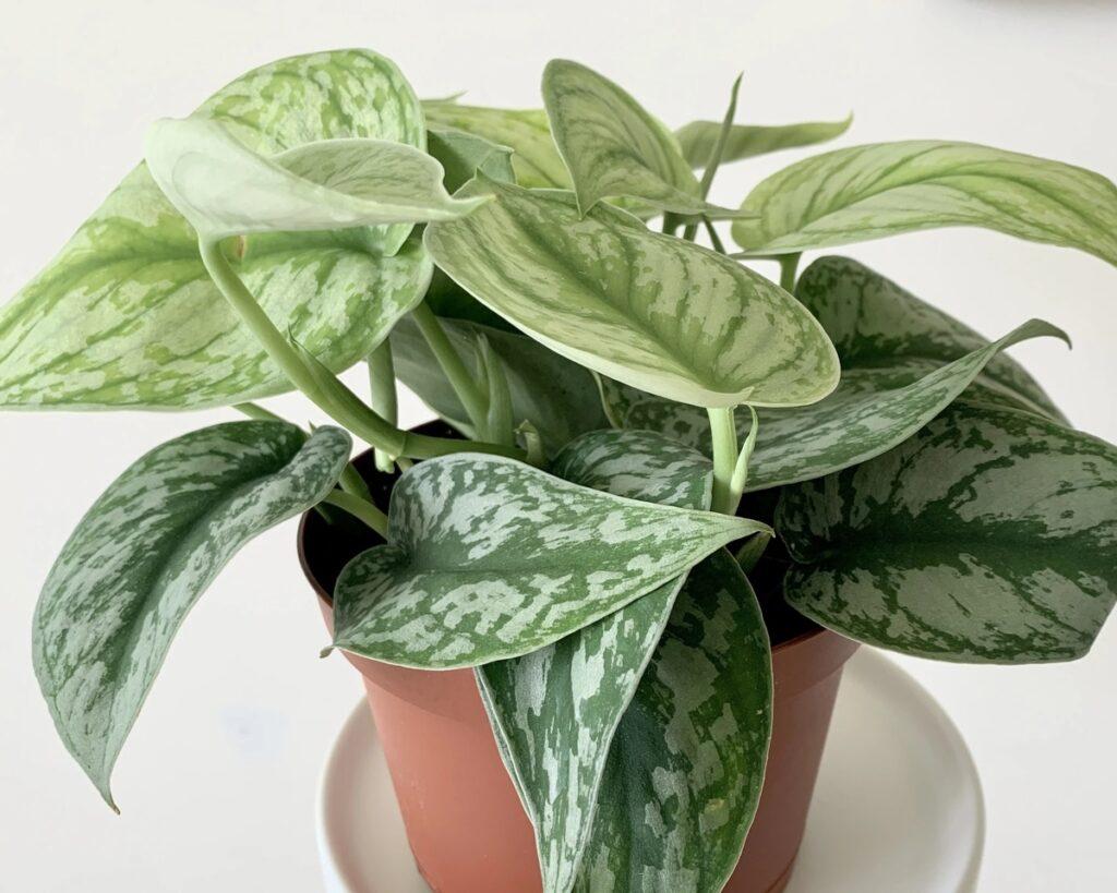 Scindapsus-Pictus-Exotica-Silver Pothos-The-Satin-Pothos-Peppyflora-Product-02