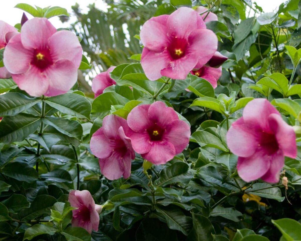 Allamanda-Blanchetii-Pink-Trumpet-Peppyflora-Product-02-moz