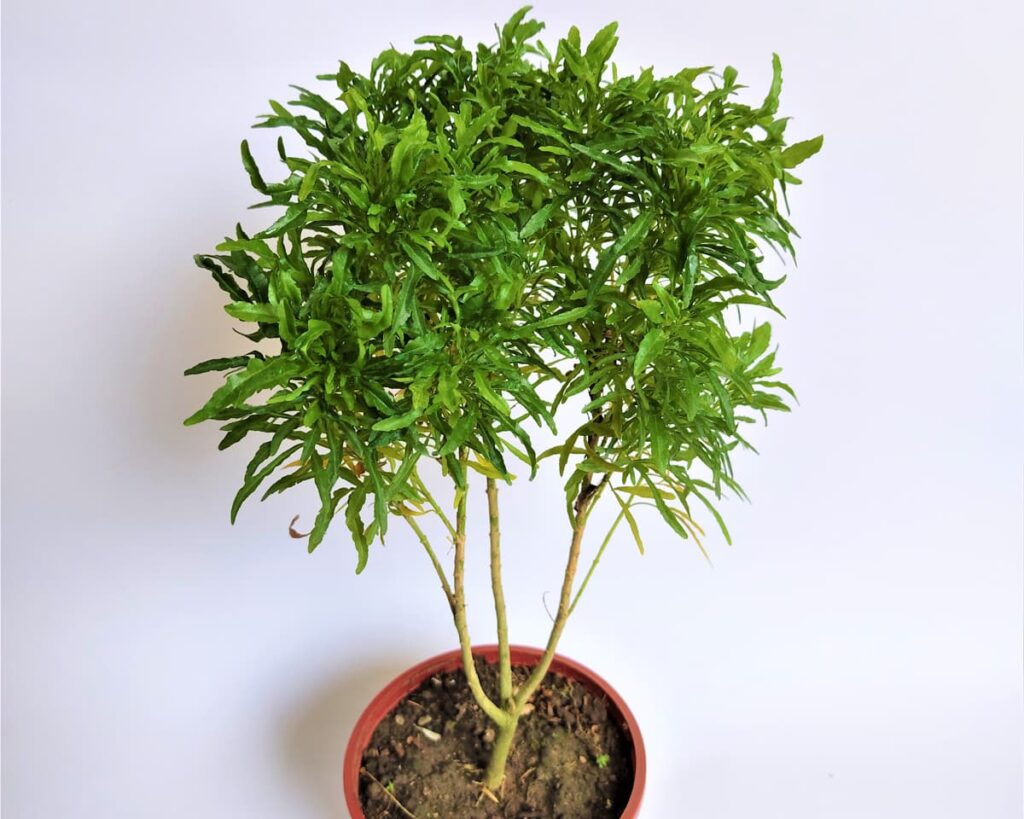 Aralia-Green-Polyscias-Peppyflora-Product-02-moz