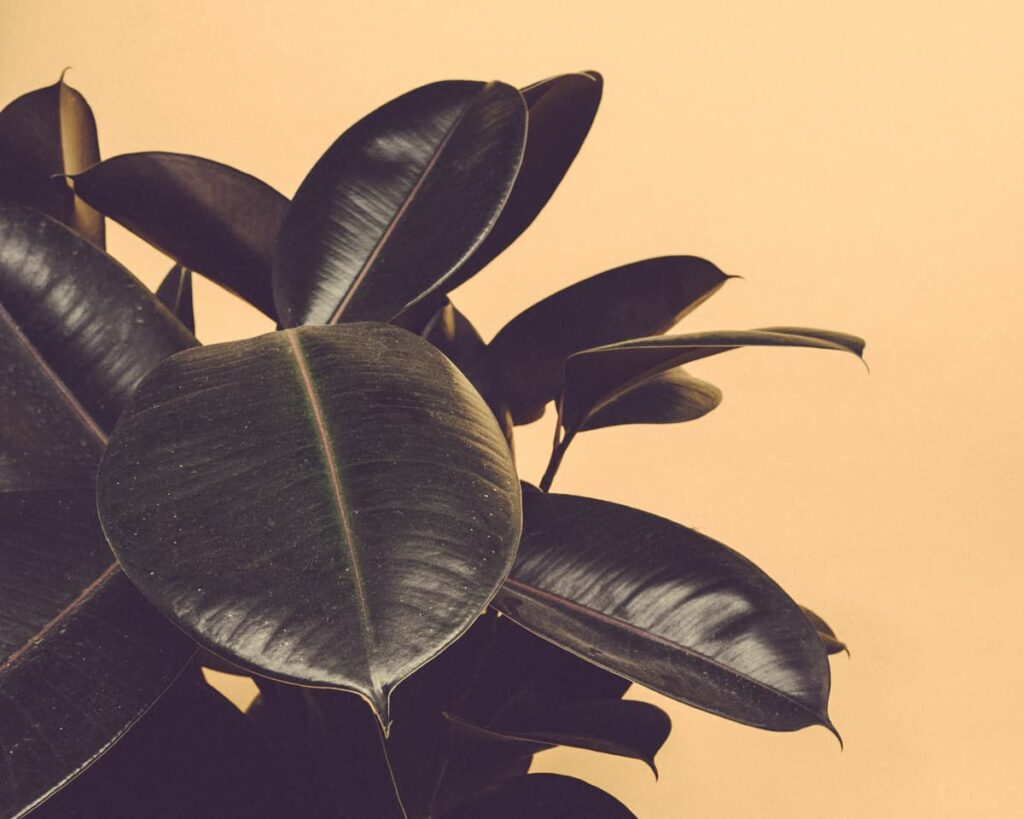 Black-Prince-Rubber-Plant-Ficus-Elastica-Burgundy-Peppyflora-Product-02-moz