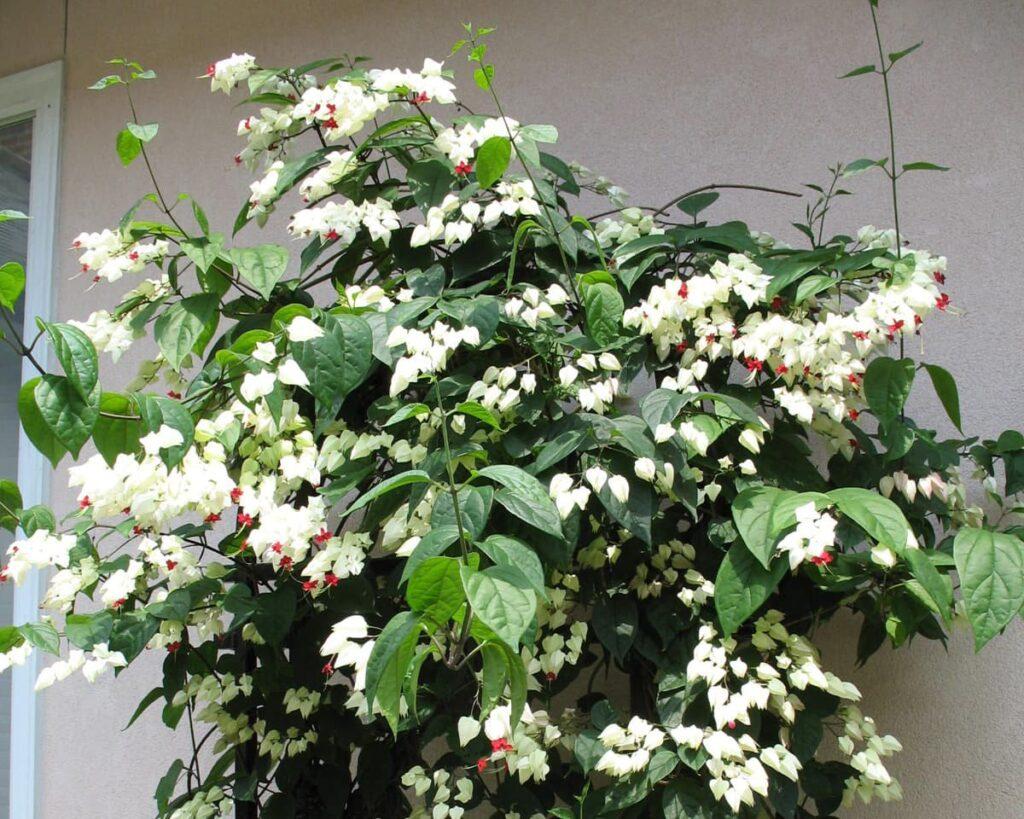 Bleeding-Heart-Vine-Clerodendrum-Thomsoniae-Peppyflora-Product-02-moz