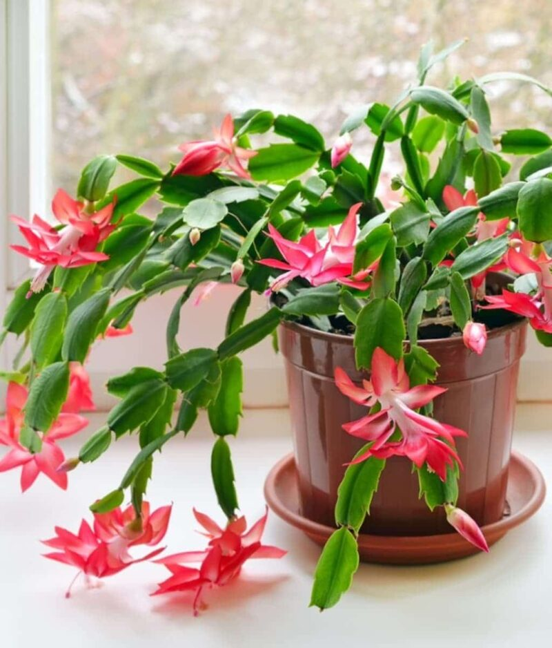 Christmas-Cactus-Red-Schlumbergera-ZygoCactus-Peppyflora-Product-01-a-moz