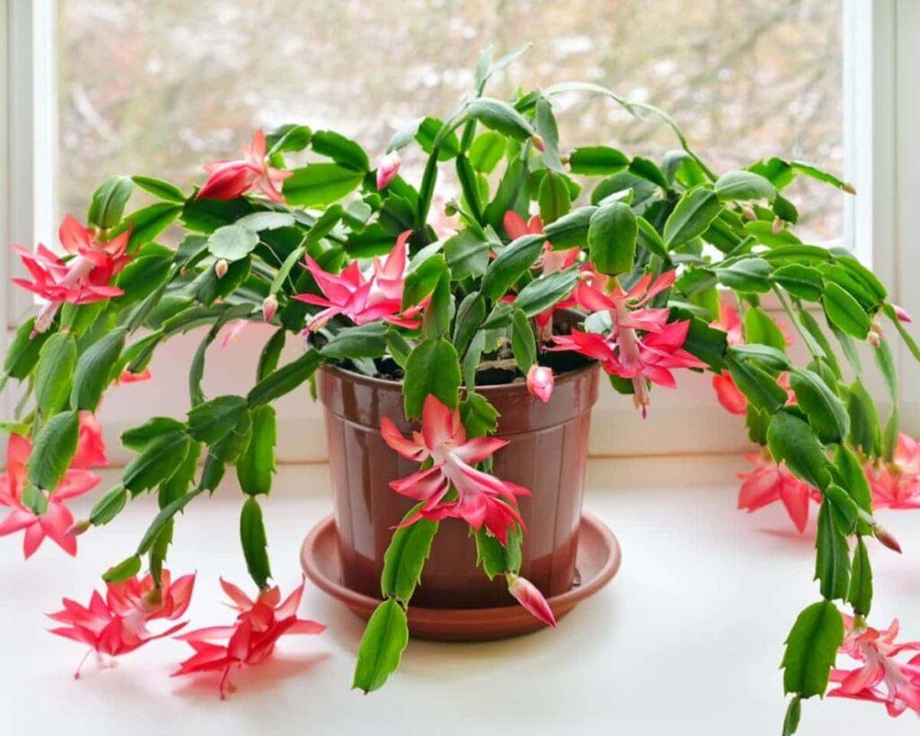 Christmas-Cactus-Red-Schlumbergera-ZygoCactus-Peppyflora-Product-02-moz