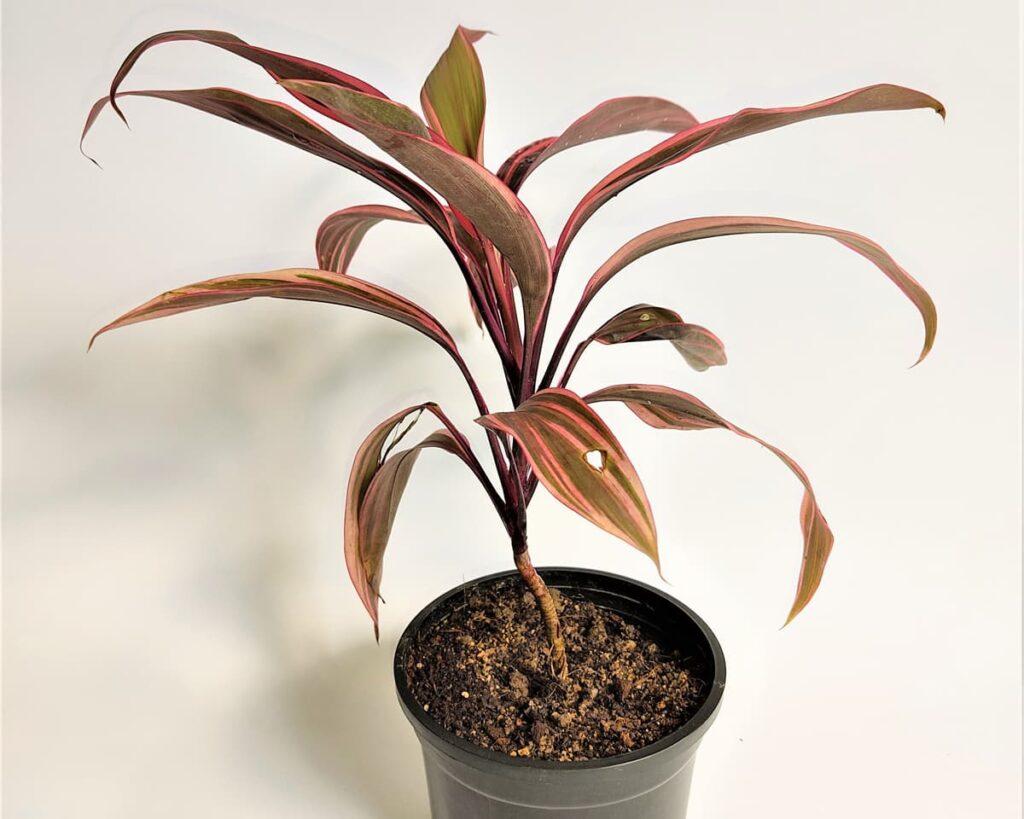Dracaena-Mahatma-Hawaiian-Ti-Peppyflora-Product-02-moz