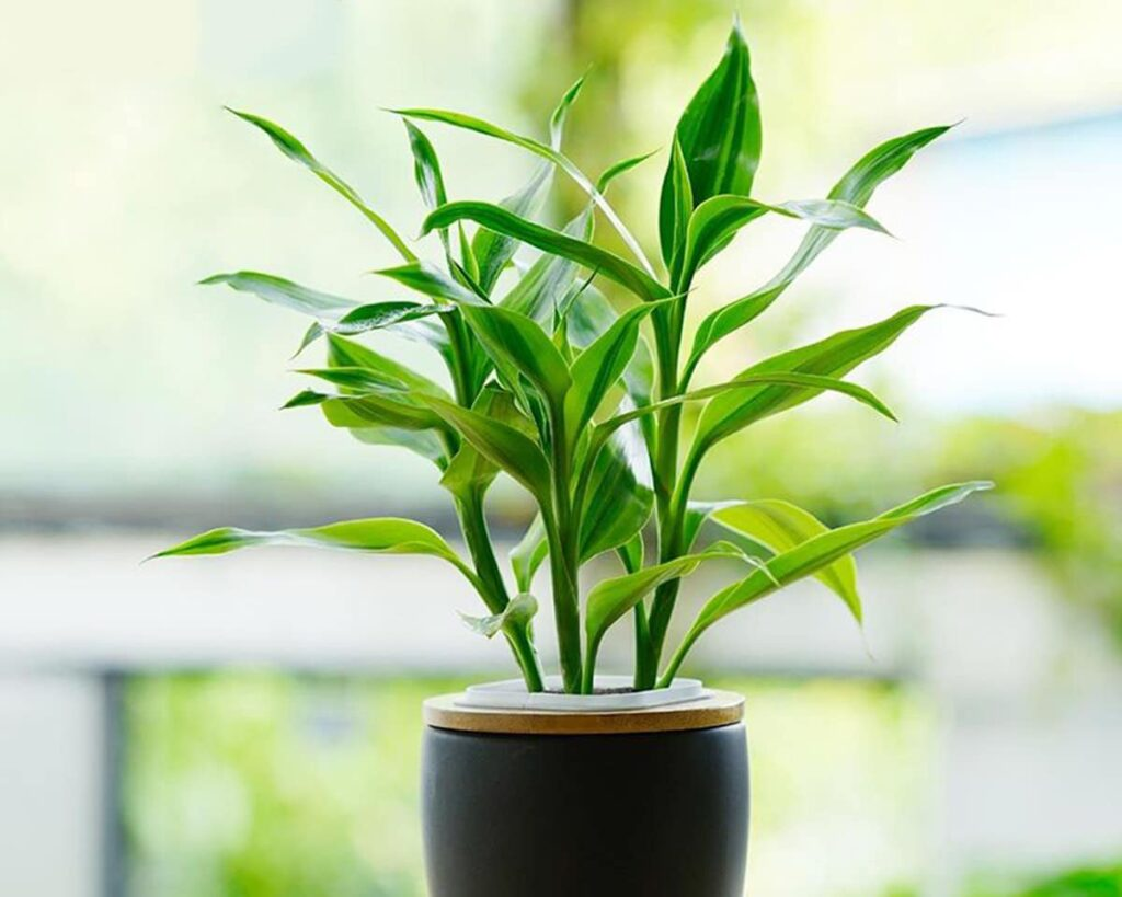 Dracaena-Sanderiana-Peppyflora-Product-02