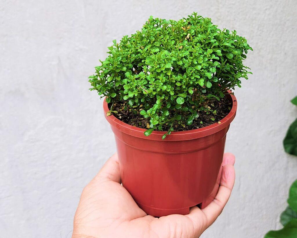 Dwarf-Kamini-Murraya-Paniculata-Peppyflora-Product-02-moz