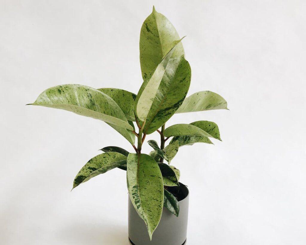 Ficus-Elastica-Shivereana-Peppyflora-Product-02-moz