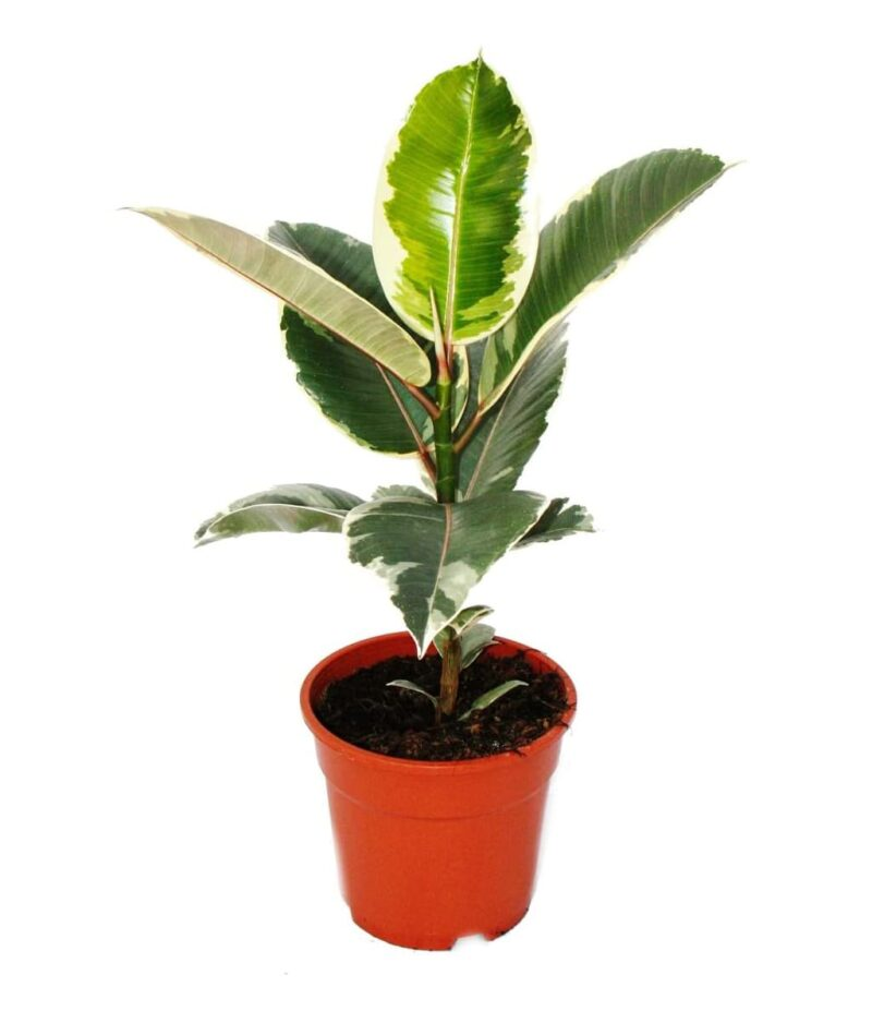 Ficus-Elastica-Tineke-Variegated-Rubber-Plant-Peppyflora-Product-01-a-moz