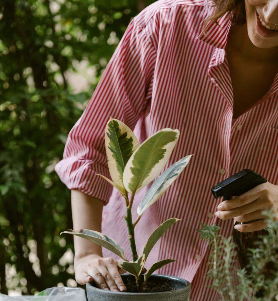 Ficus-Elastica-Tineke-Variegated-Rubber-Plant-Peppyflora-Product-02-moz