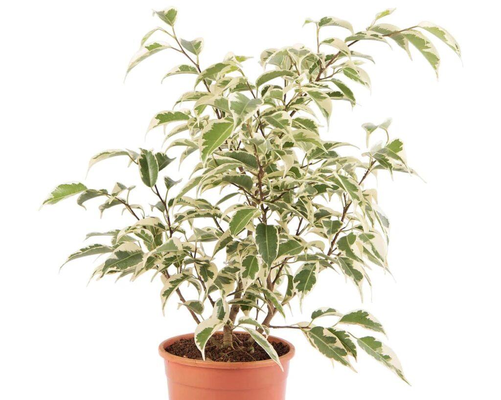 Ficus-Starlight-Ficus-Benjamina-Peppyflora-Product-02-moz