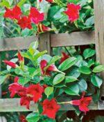 Mandevilla-Red-Rocktrumpet-Peppyflora-Product-01-b-moz