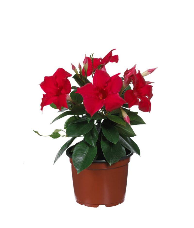 Mandevilla-Red-Rocktrumpet-Peppyflora-Product-01-c-moz