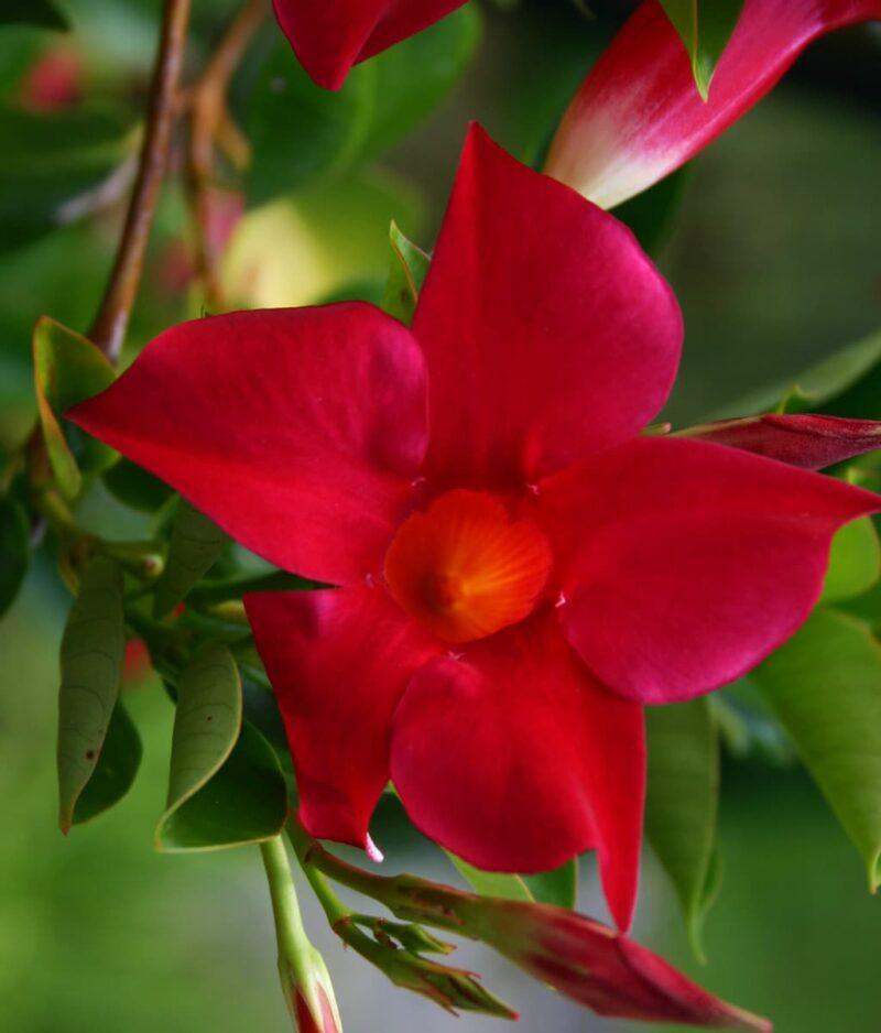 Mandevilla-Red-Rocktrumpet-Peppyflora-Product-01-d-moz