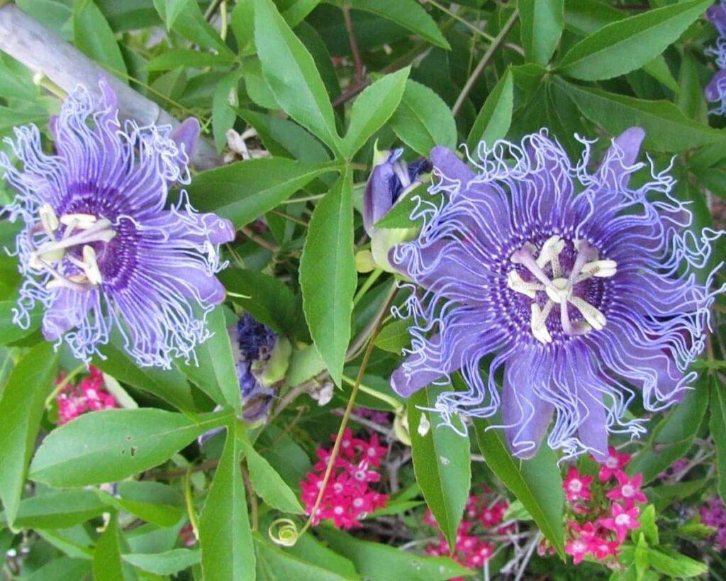 Passion-Flower-Purple-Passiflora-Incarnata-Maypop-Peppyflora-Product-02-moz
