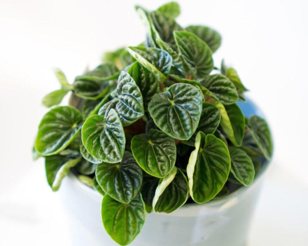 Peperomia-Caperata-Lilian-Ripple-Radiator-Green-Peppyflora-Product-02-moz