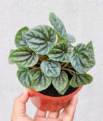 Peperomia-Silver-Ripple-Green-Peppyflora-Product-01-b-moz