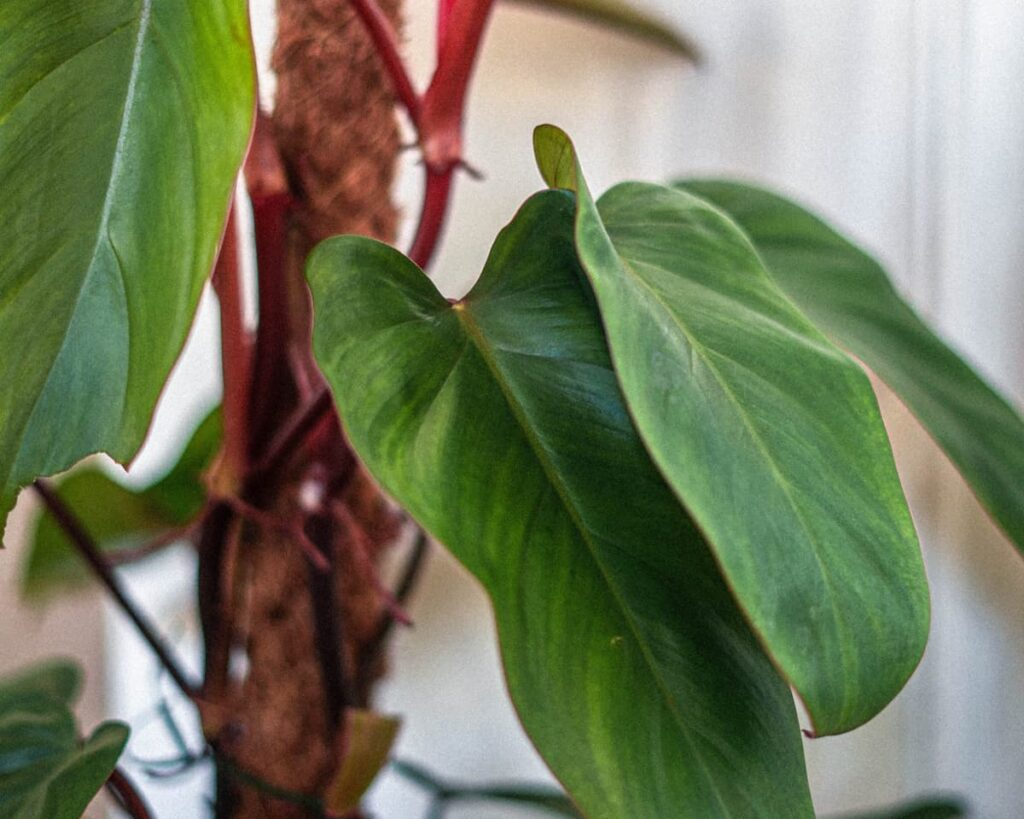 Philodendron-Erubescens-Hybrid-Peppyflora-Product-02-moz