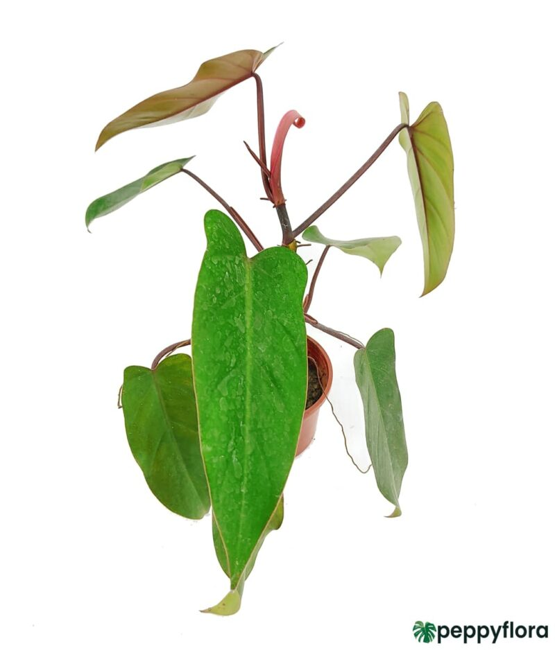 Philodendron-Erubescens-Hybrid-Product-Peppyflora01-a-Moz