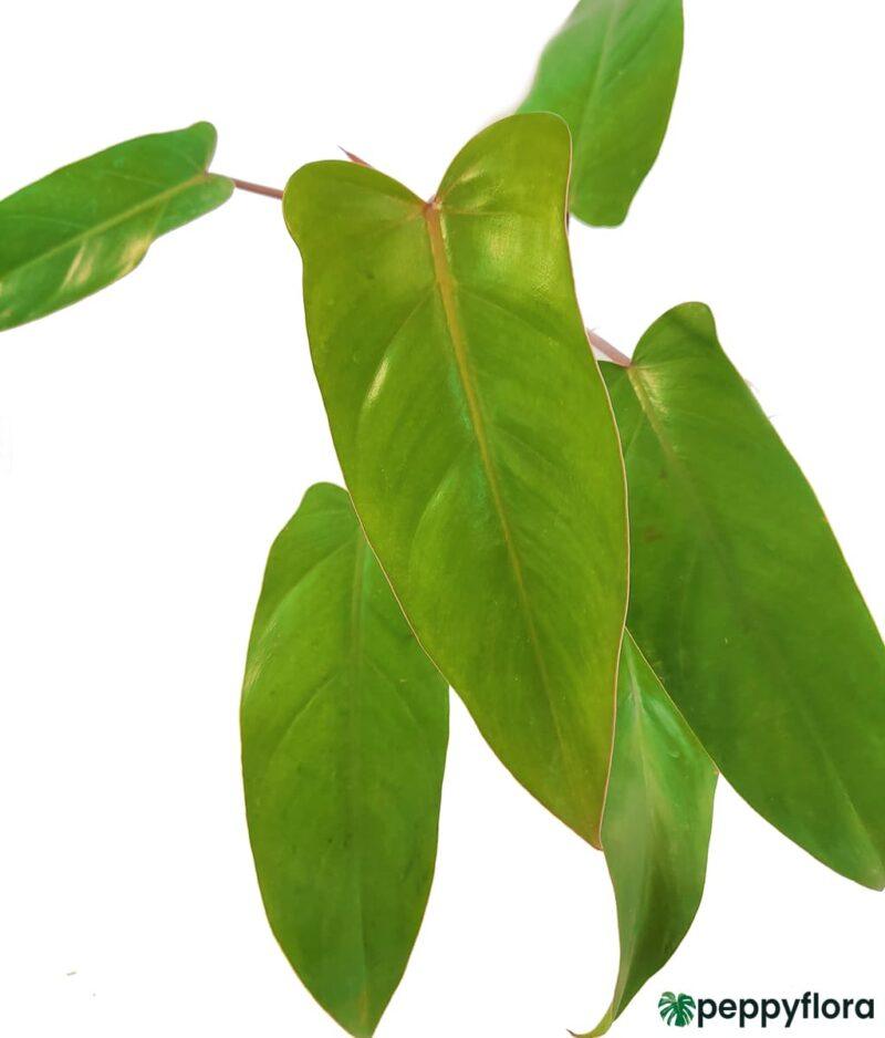 Philodendron-Erubescens-Hybrid-Product-Peppyflora01-c-Moz