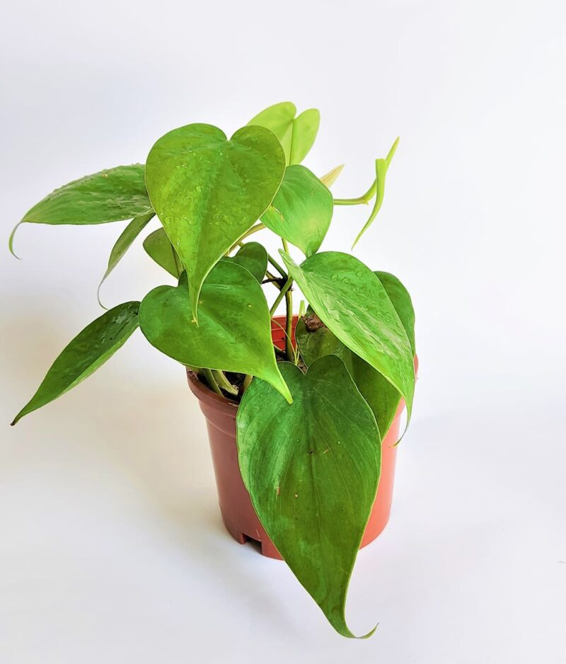 Philodendron-Oxycardium-Green-Vilevine-Scandens-Peppyflora-Product-01-a-moz