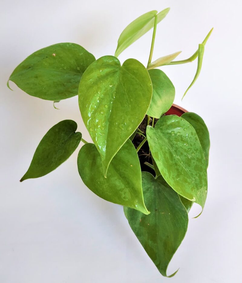 Philodendron-Oxycardium-Green-Vilevine-Scandens-Peppyflora-Product-01-b-moz