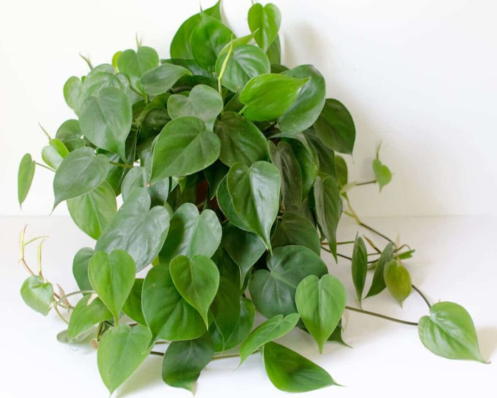 Philodendron-Oxycardium-Green-Vilevine-Scandens-Peppyflora-Product-02-moz