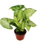 Syngonium-White-Butterfly-Nephthytis-Peppyflora-Product-01-a-moz