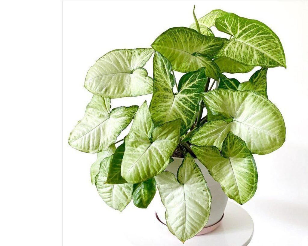 Syngonium-White-Butterfly-Nephthytis-Peppyflora-Product-02-moz