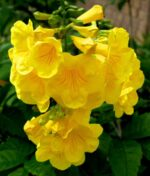 Tecoma-Stans-Yellow-Bells-Peppyflora-Product-01-a-moz
