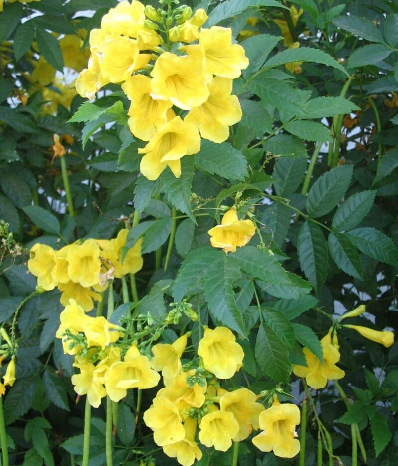 Tecoma-Stans-Yellow-Bells-Peppyflora-Product-01-b-moz