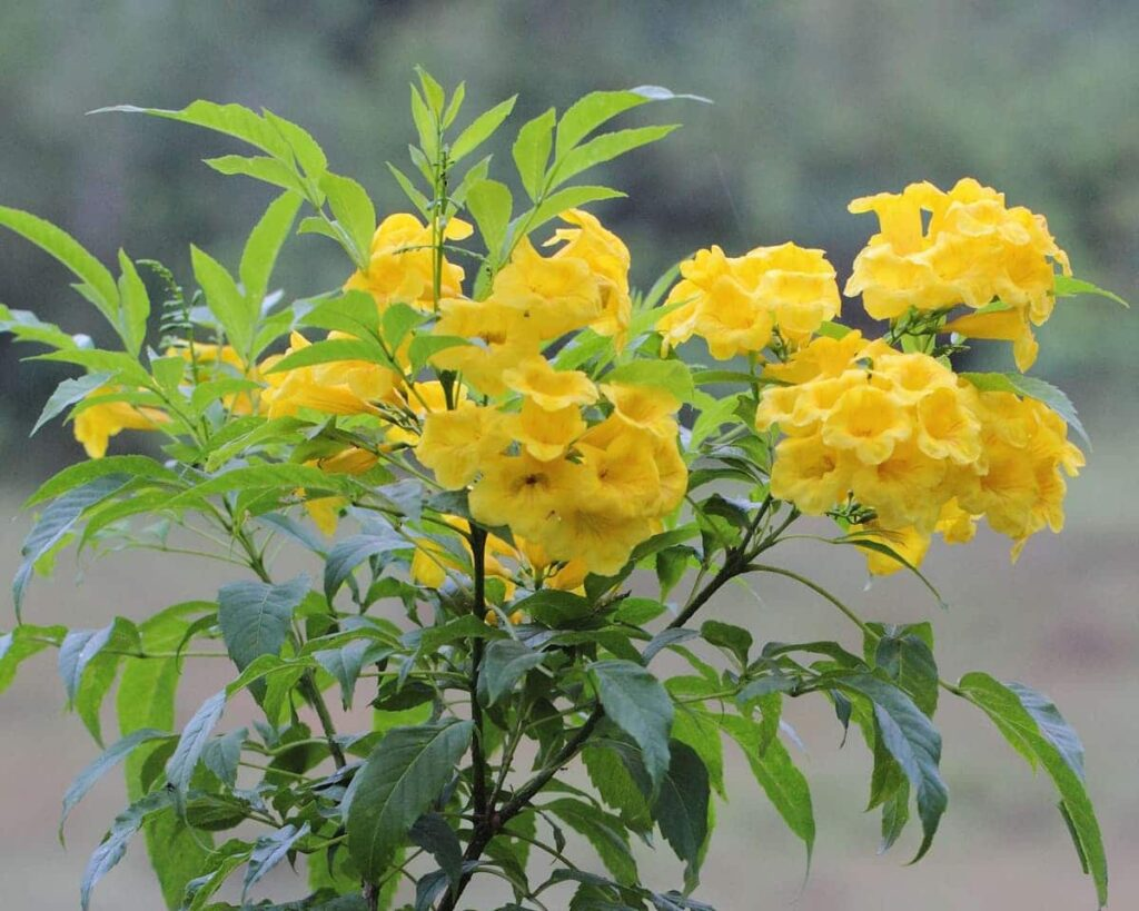Tecoma-Stans-Yellow-Bells-Peppyflora-Product-02-moz