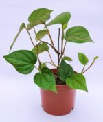 Betel-Leaf-Maghai-Paan-Peppyflora-Product-01-a-moz