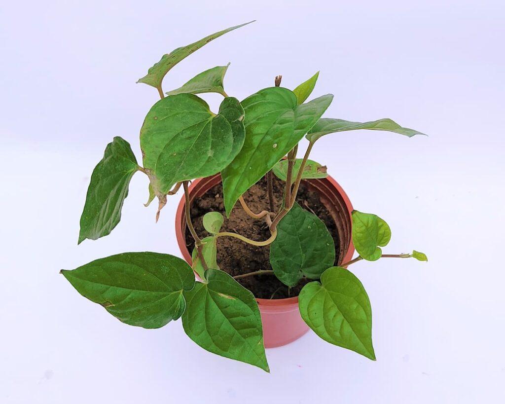 Betel-Leaf-Maghai-Paan-Peppyflora-Product-02-moz