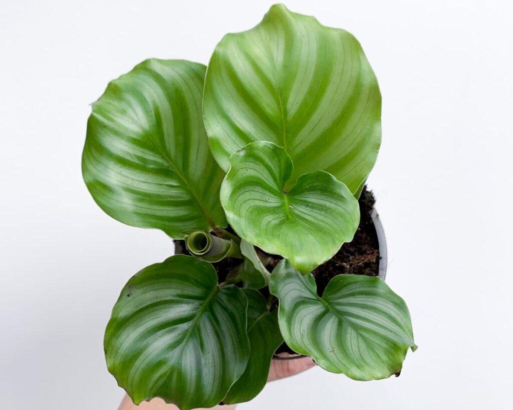 Calathea-Orbifolia-Peppyflora-Product-02-moz